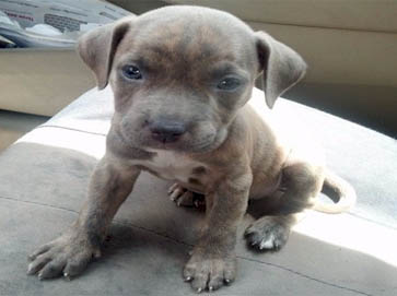 American Pitbull Registry Brindle Pitbull Puppy Pictures
