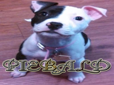 American PitBull Registry - Brindle PitBull Puppy Pictures