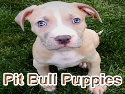 PitBull puppy pictures