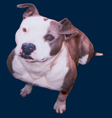 Pitbull Pictures By Color And Pattern